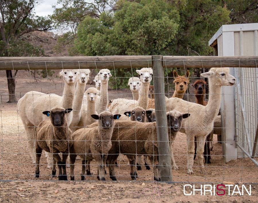 Alpaca Breeders in Australia