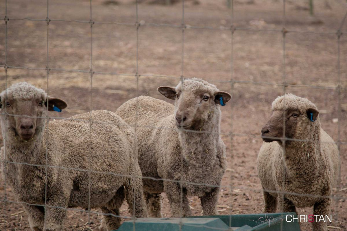 Christan-Farm---the-new-male-rams-2015-drop
