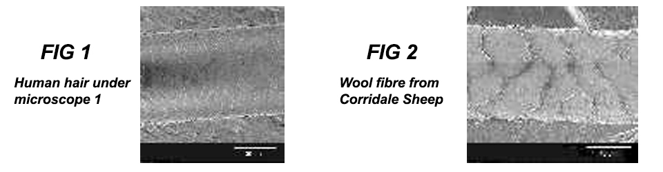 Human-hair-Wool-fibre-from-Corridale-Sheep
