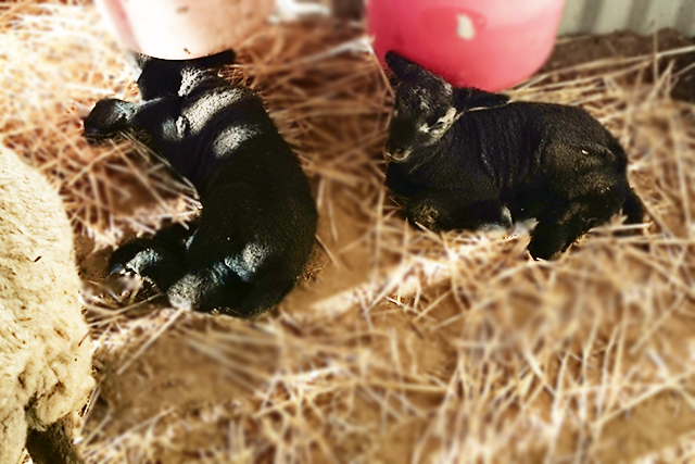 CHRISTAN FARM Lambs
