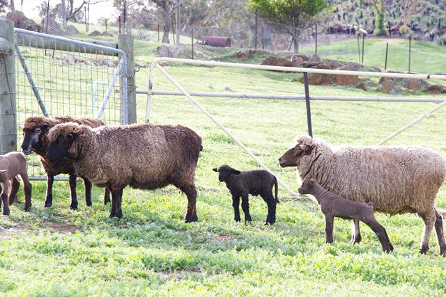 CHRISTAN FARM Lambs