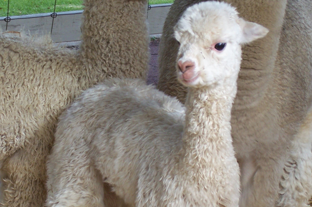 Difference between Cashmere Mohair and Alpaca Fibre